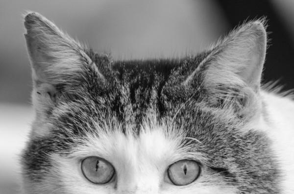 Diabetic Cat test BGs
