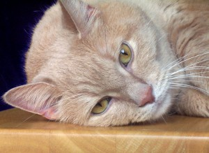 Diabetic Cat symptoms