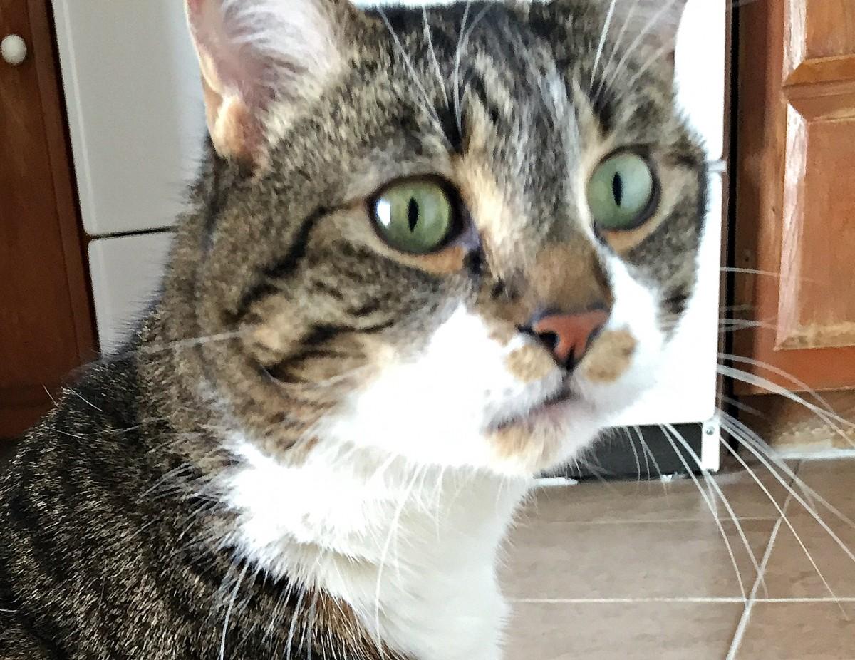 Jax Diabetic cat off insulin