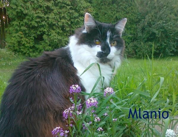 Mlanio - Diabetic Cat-3