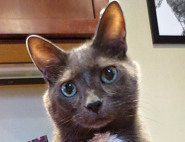 kitty cat katarina for sale