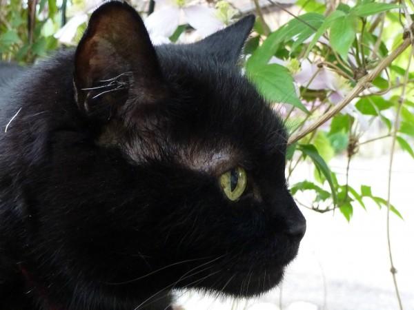 Tuvi - Diabetic Cat-2