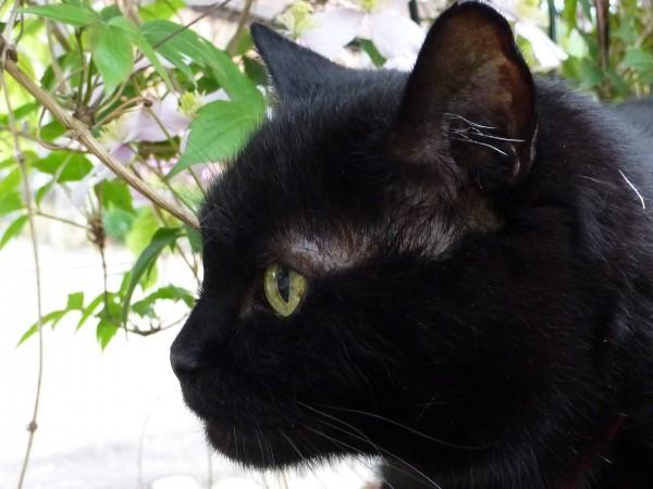 Tuvi - Diabetic Cat