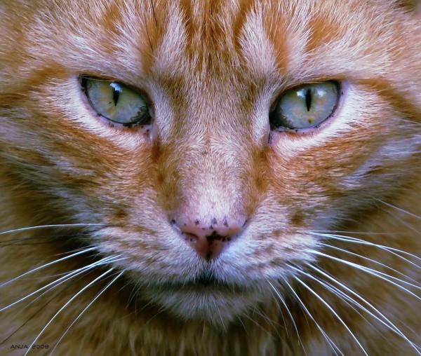 Feline Acromegaly