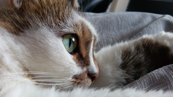 A DKA can be life threatening.  Learn the symptoms to look out for in your Diabetic Cat.