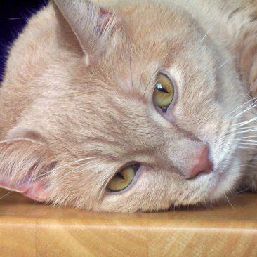 Feline Diabetes Symptoms