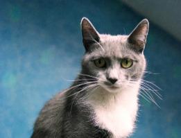 Luna diabetic cat off insulin